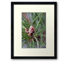 Bishop Pine Framed Print