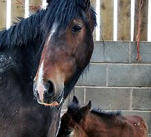 Shire Horse & New Foal by AnnDixon