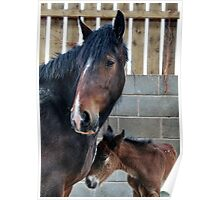 Shire Horse & New Foal Poster