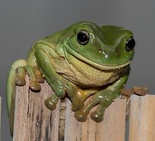 Frog on the fence by LeanneA