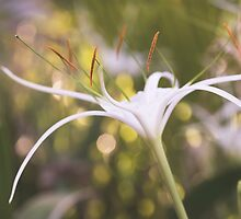 White Lily by Novellaphotog