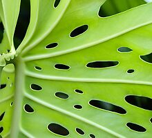 Windowleaf (Monstera deliciosa) by Kerryn Madsen-Pietsch
