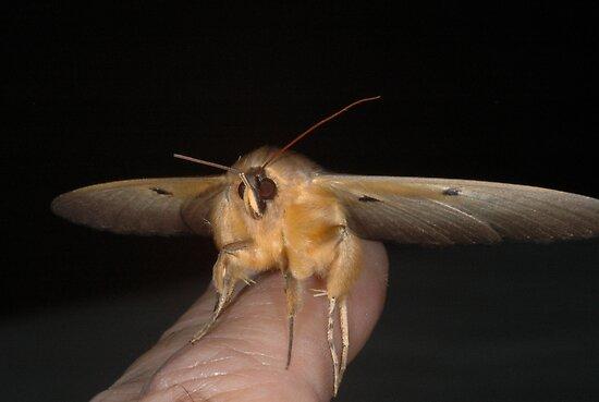 Granny moth / Old Lady moth - Dasypodia selenophora  by Trevor Needham