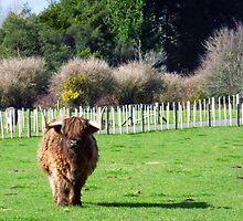 Bull in a farm by alpacat