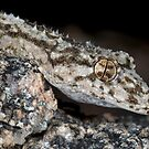 Granite Belt leaf-tailed gecko by Stewart Macdonald