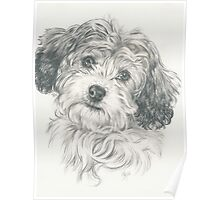 Another Cavachon  Poster