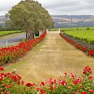 vine yards by janfoster