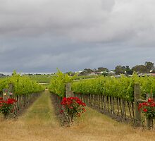 grape vines by janfoster