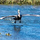 Pelican Takeoff by imagetj