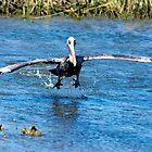 Pelican Takeoff by imagetj