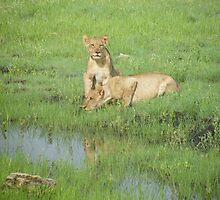 African Lions by susannamike