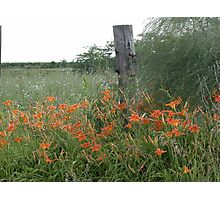 Lillies of the Field Photographic Print