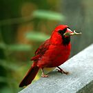 Male Cardinal  by George  Link