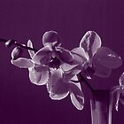 Orchid in Pink by orko