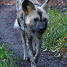 Wild Dog by IanPharesPhoto