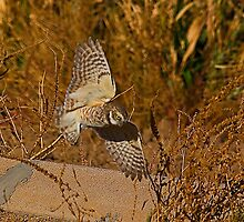 Burrowing Owl In Flight by Marvin Collins