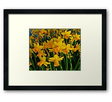 DAFFODILS BIG TIME Framed Print