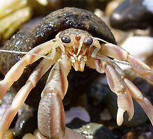 Hermit Crab by main1