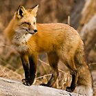 Fox Portrait Sitting by Jay Ryser