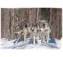 Timber wolves in winter Poster