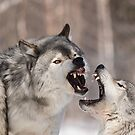 Timber wolves in winter by Josef Pittner
