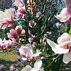Magnolias by BillK