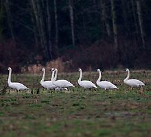 Trumpeter Swans In Farmer's Field by David Friederich