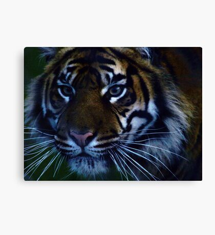 SumatranTiger Canvas Print