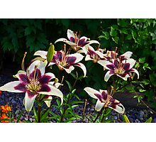 Purple And White Lilies Photographic Print
