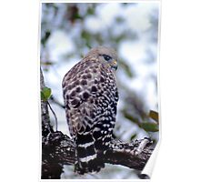 Short-tail Hawk  Poster