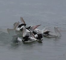 Pelicans - Georges bay Tasmania by Peterzphotoz