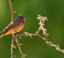Redstart on Acacia by David Clark