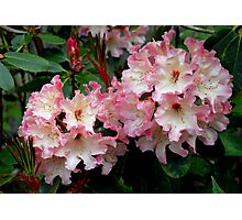 A Perfect Spring Rhododendron Photographic Print