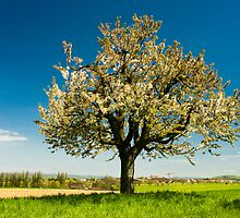 blossoming tree by peterwey