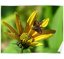 Greenish Grass-dart Butterfly Poster
