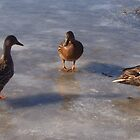 Ducks on Ice by Luckyman