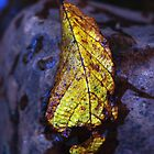 An Autumn Leaf by petersargison