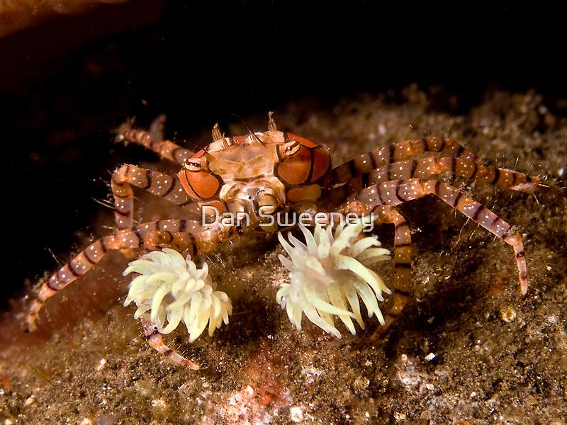 Boxer Crab by Dan Sweeney