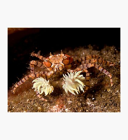 Boxer Crab Photographic Print