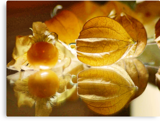 THE GOOSEBERRY - Physalis Solanaceae by Magaret Meintjes