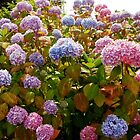 Riot of Hydrangea Blossoms - Pink, Blue and Purple by SunriseRose