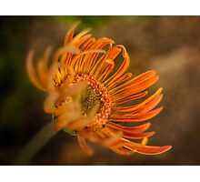 Gerbera emerging Photographic Print