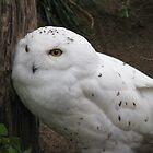 Snow Owl by FOTOX