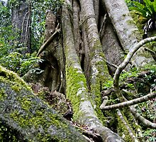 Strangler Fig, Lamington National Park, Qld by Adrian Paul