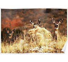 Three Curious Mule Deer Poster
