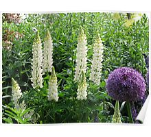 Lupins and Allium - Hyde Hall, Essex Poster