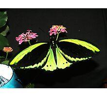 A cairns birdwing on lantana Photographic Print