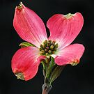 Cherokee Chief Dogwood Bloom by Sharon Woerner