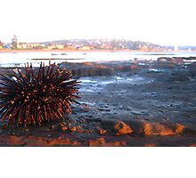 Sea Urchin Photographic Print