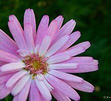 Pink by Kay  G Larsen